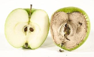 Jeune vieux pomme