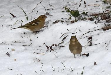 Neige oiseaux