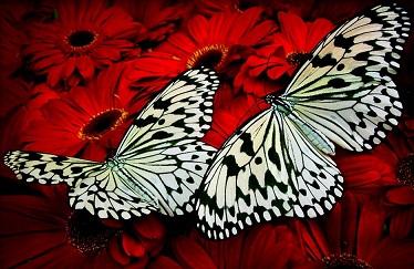 Papillon monarque 1